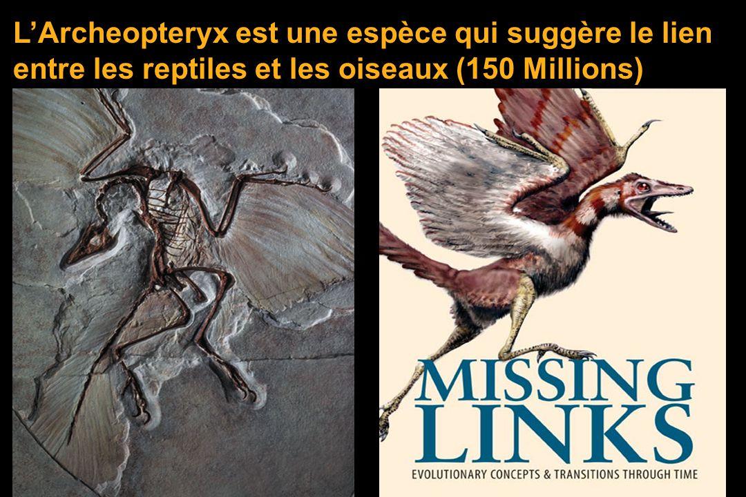 L'Archeopteryx est une espèce qui suggère le lien entre les reptiles et les oiseaux (150 Millions)