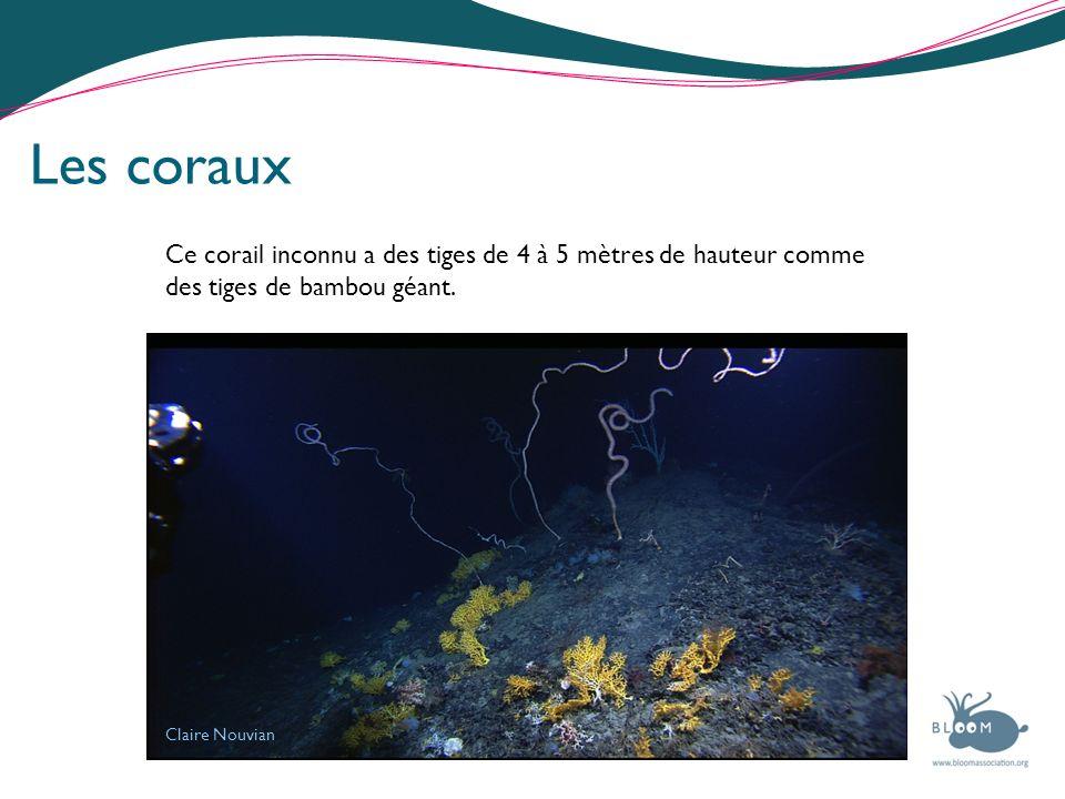 Les corauxCe corail inconnu a des tiges de 4 à 5 mètres de hauteur comme des tiges de bambou géant.