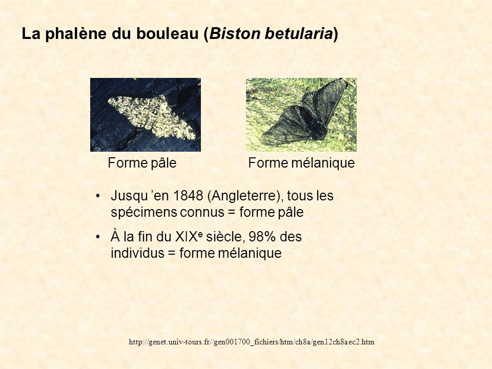 La phalène du bouleau (Biston betularia)