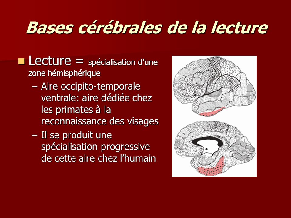 Bases cérébrales de la lecture