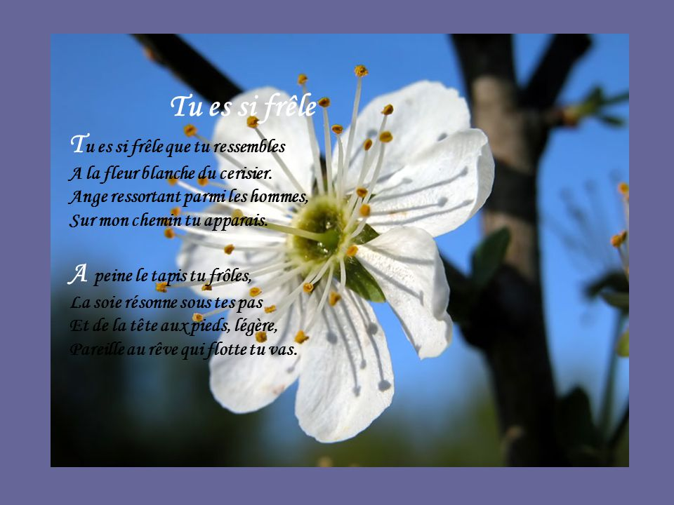 Tu es si frêle Tu es si frêle que tu ressembles A la fleur blanche du cerisier. Ange ressortant parmi les hommes, Sur mon chemin tu apparais.