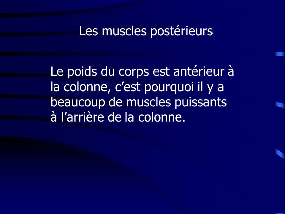 Les muscles postérieurs