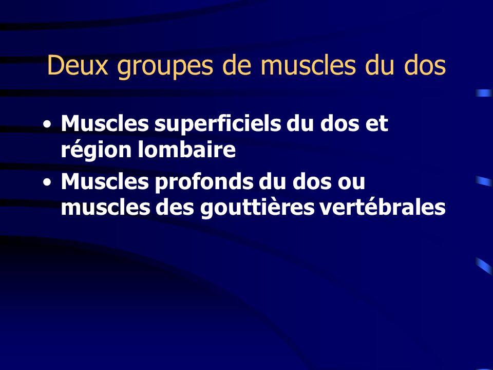 Deux groupes de muscles du dos