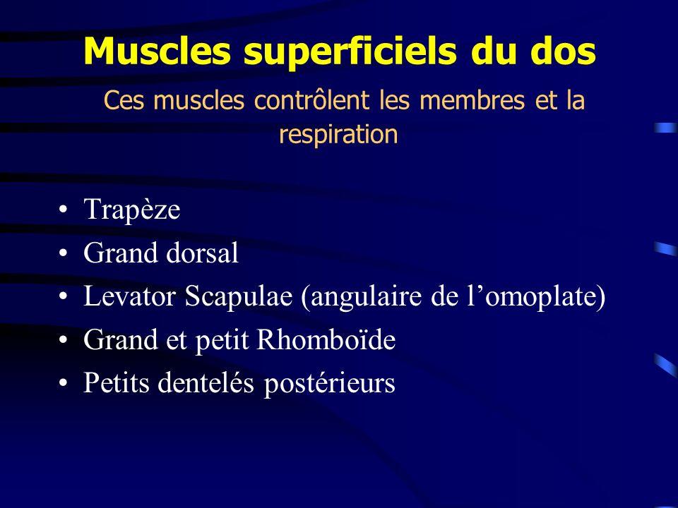 Muscles superficiels du dos Ces muscles contrôlent les membres et la respiration