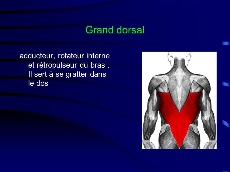 Grand dorsal adducteur, rotateur interne et rétropulseur du bras . Il sert à se gratter dans le dos