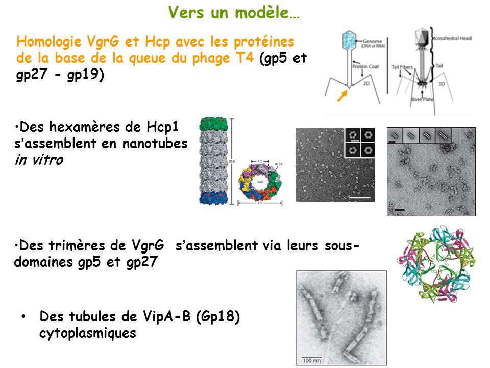 Vers un modèle… Homologie VgrG et Hcp avec les protéines de la base de la queue du phage T4 (gp5 et gp27 - gp19)