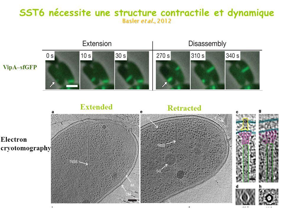 SST6 nécessite une structure contractile et dynamique