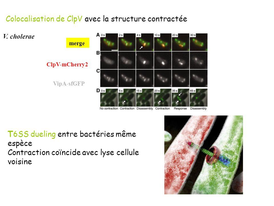 Colocalisation de ClpV avec la structure contractée
