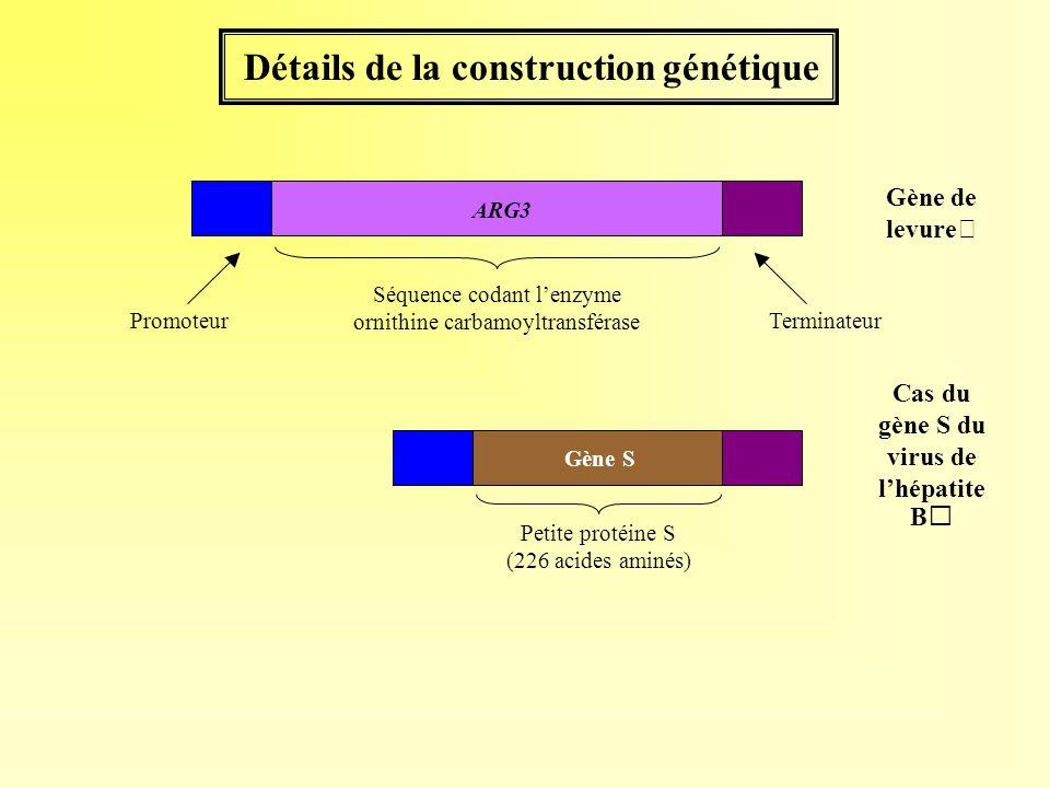 Détails de la construction génétique