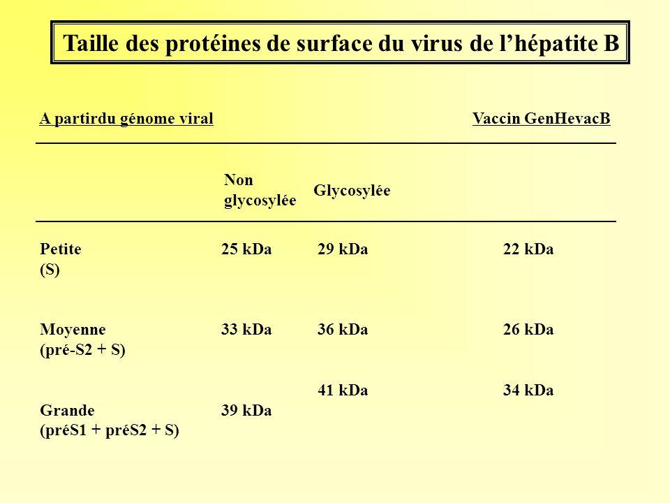 Taille des protéines de surface du virus de l'hépatite B