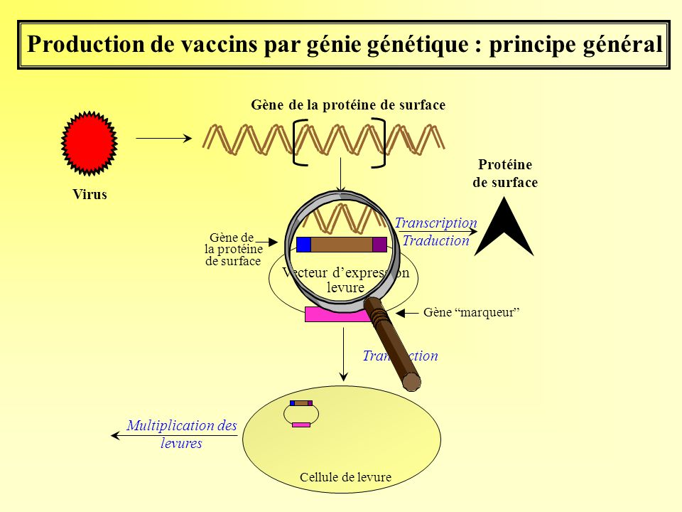 Production de vaccins par génie génétique : principe général