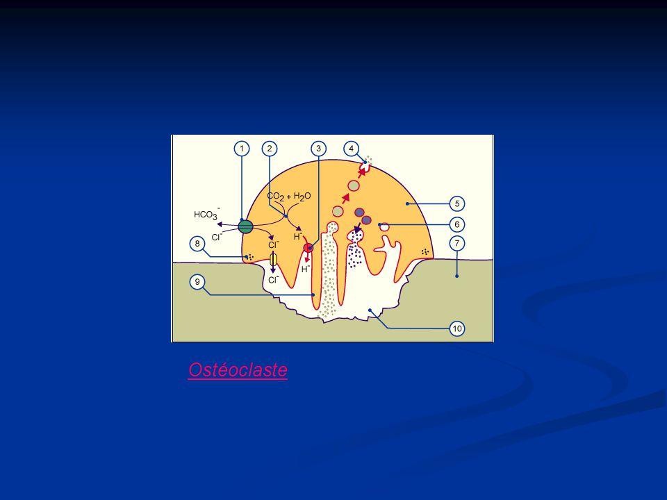 Ostéoclaste
