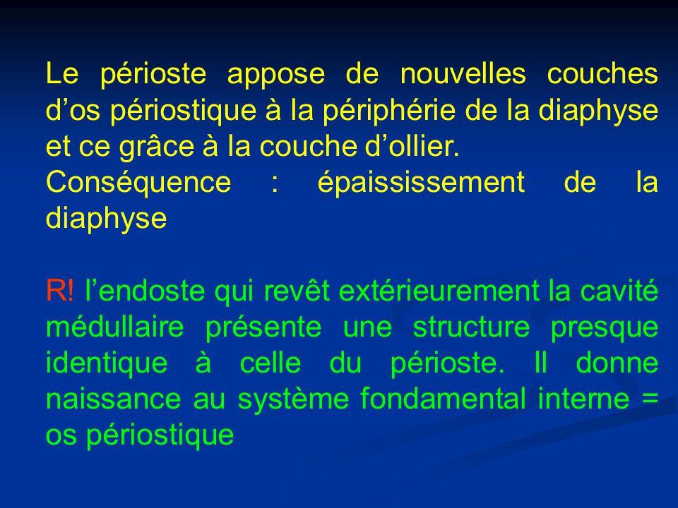 Le périoste appose de nouvelles couches d'os périostique à la périphérie de la diaphyse et ce grâce à la couche d'ollier.