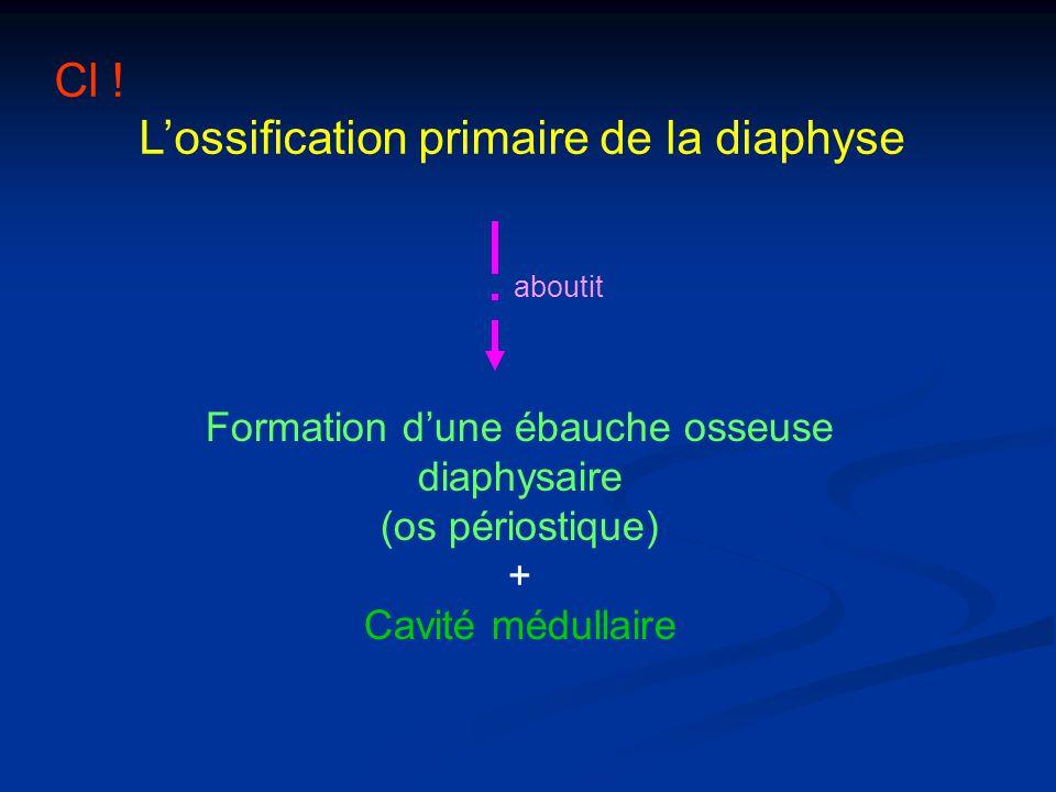 Cl ! Formation d'une ébauche osseuse diaphysaire (os périostique) +