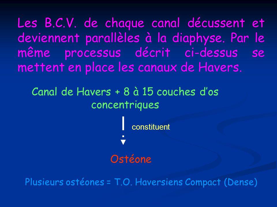 Canal de Havers + 8 à 15 couches d'os concentriques