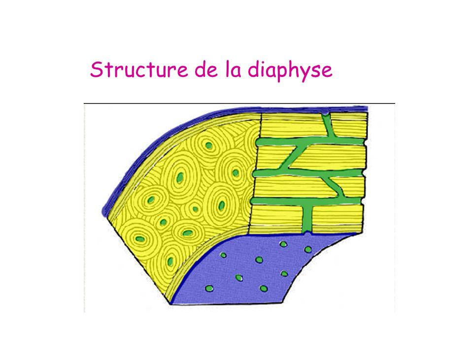 Structure de la diaphyse