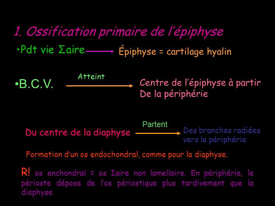 1. Ossification primaire de l'épiphyse