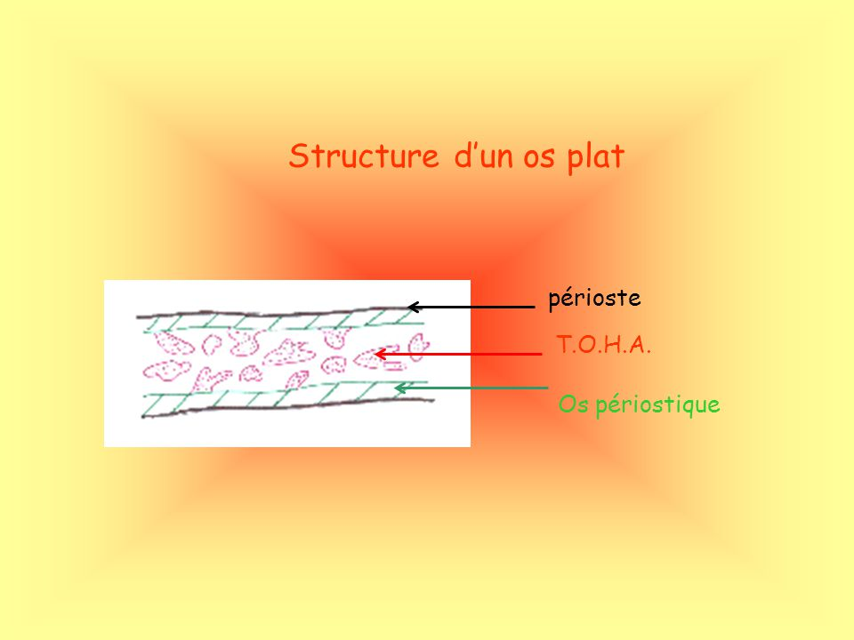 Structure d'un os plat périoste T.O.H.A. Os périostique