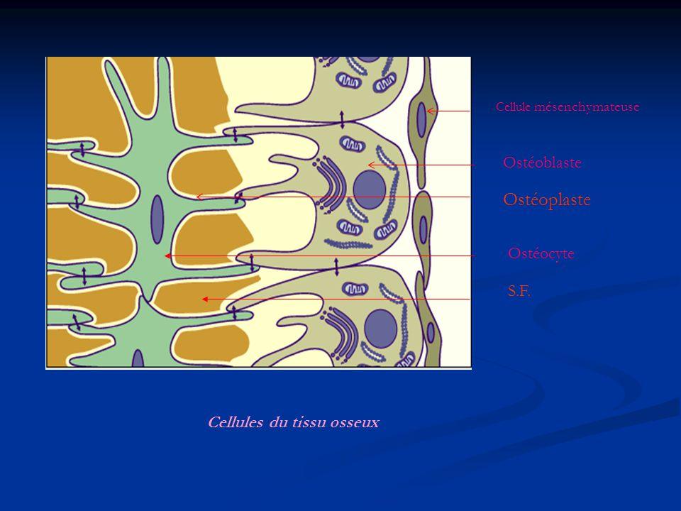 Ostéoplaste Ostéoblaste Ostéocyte S.F. Cellules du tissu osseux
