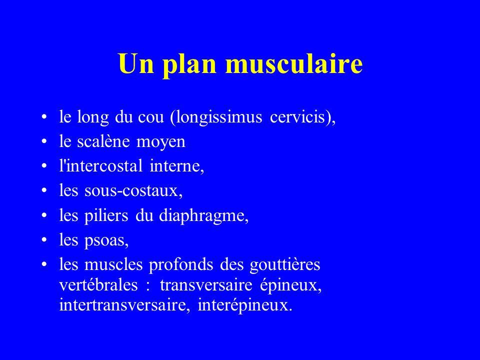 Un plan musculaire le long du cou (longissimus cervicis),