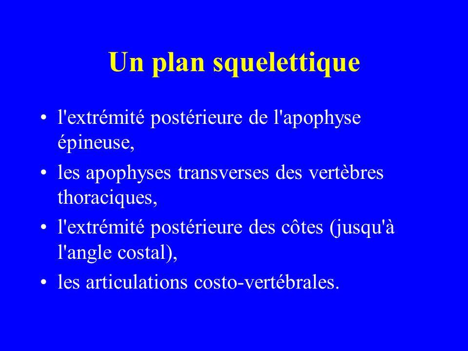 Un plan squelettique l extrémité postérieure de l apophyse épineuse,