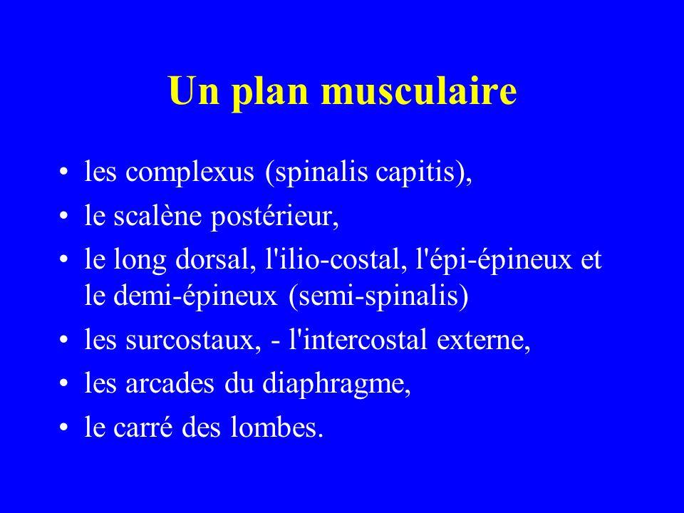 Un plan musculaire les complexus (spinalis capitis),
