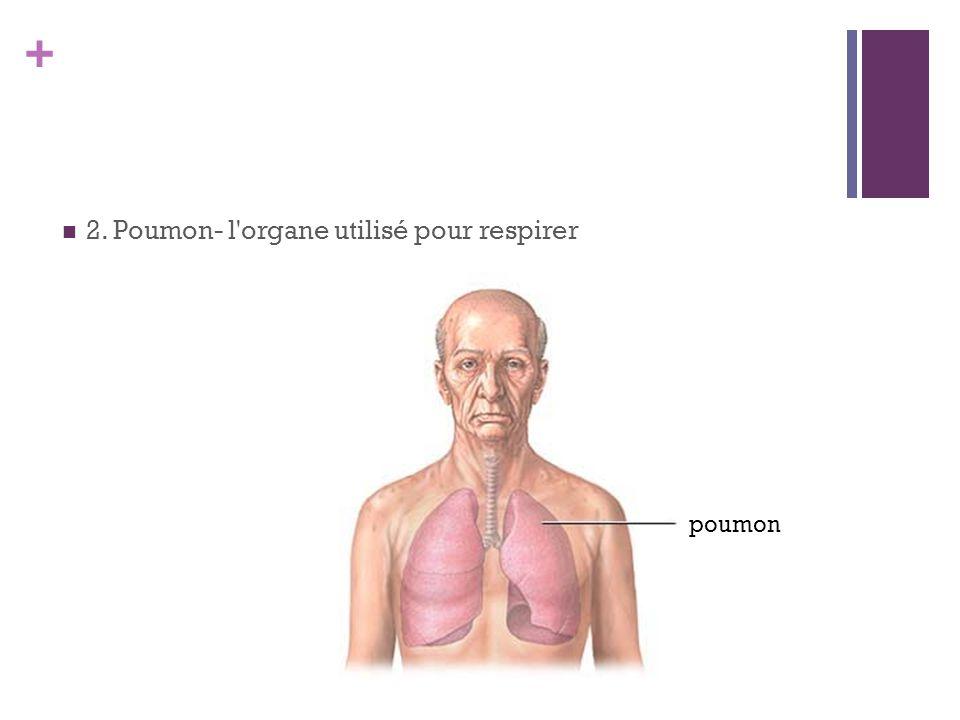 2. Poumon- l organe utilisé pour respirer