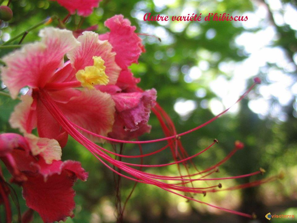 Autre variété d'hibiscus
