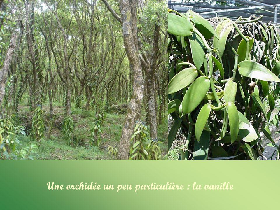 Une orchidée un peu particulière : la vanille