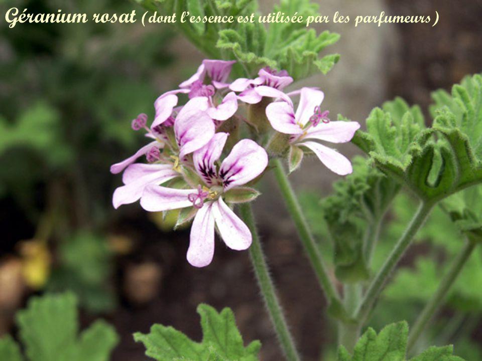 Géranium rosat (dont l'essence est utilisée par les parfumeurs)