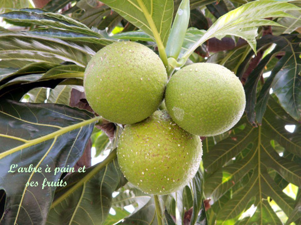 L'arbre à pain et ses fruits