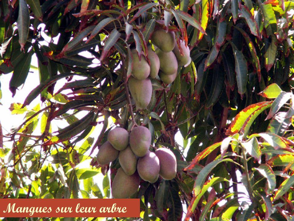 Mangues sur leur arbre