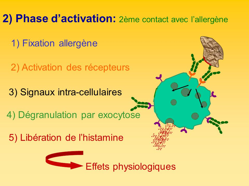 2) Phase d'activation: 2ème contact avec l'allergène