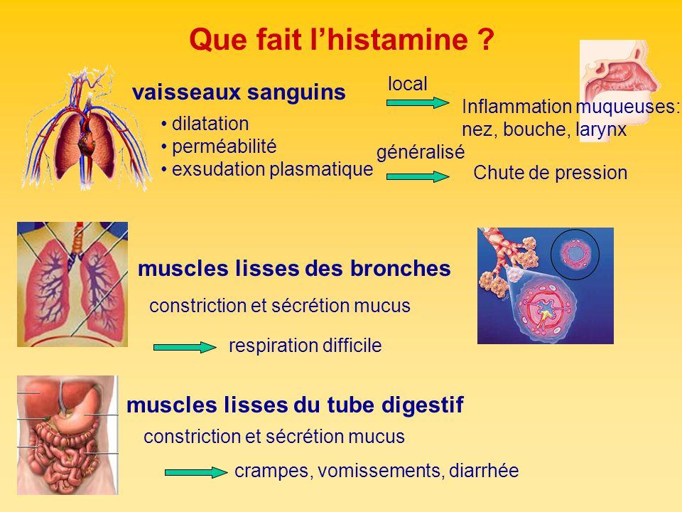 Que fait l'histamine vaisseaux sanguins muscles lisses des bronches