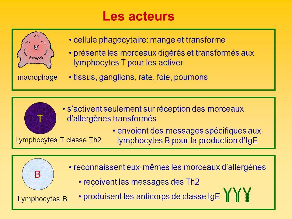 Les acteurs T B cellule phagocytaire: mange et transforme