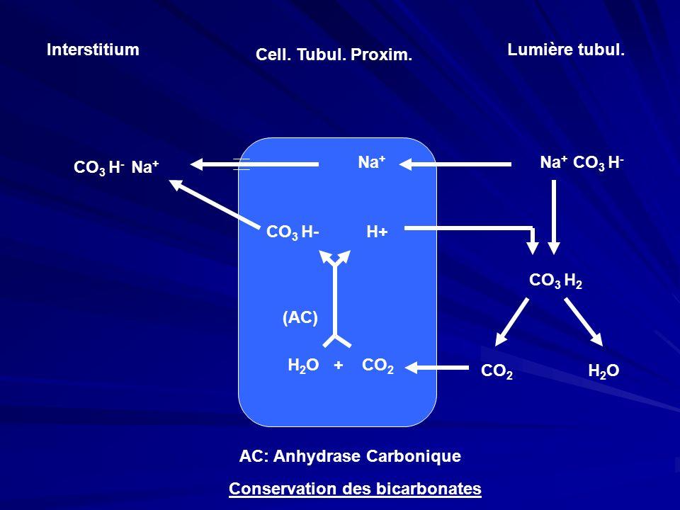 InterstitiumLumière tubul. Cell. Tubul. Proxim. Na+ Na+ CO3 H- CO3 H- Na+ CO3 H- H+ CO3 H2.