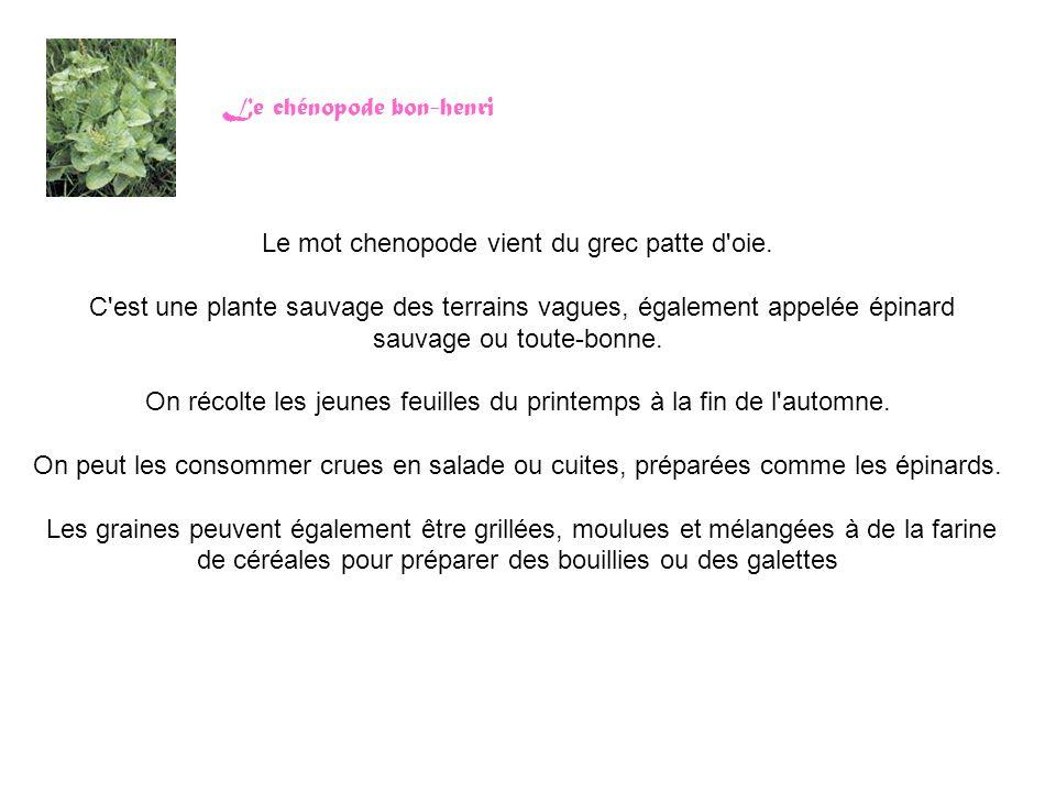 Le chénopode bon-henri