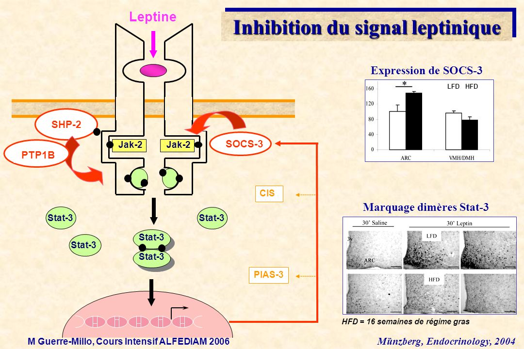 Inhibition du signal leptinique