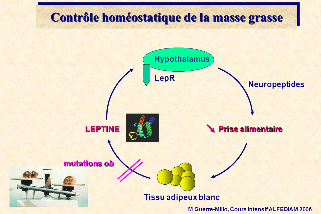 Contrôle homéostatique de la masse grasse