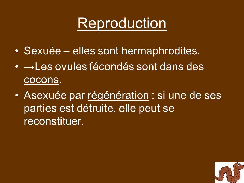 Reproduction Sexuée – elles sont hermaphrodites.