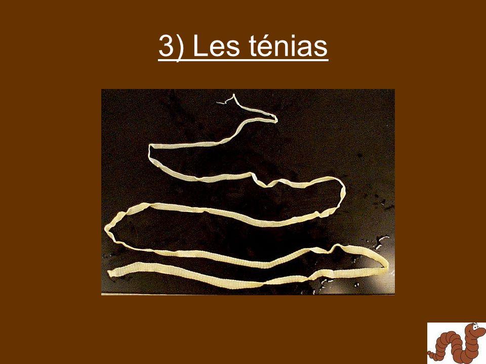 3) Les ténias