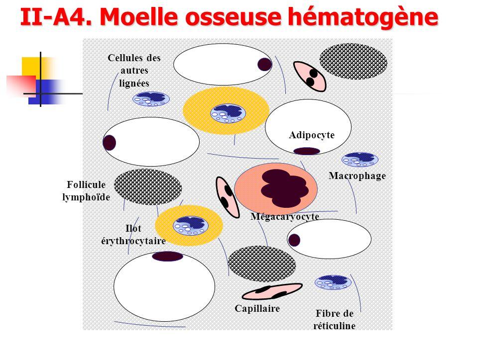 II-A4. Moelle osseuse hématogène Cellules des autres lignées