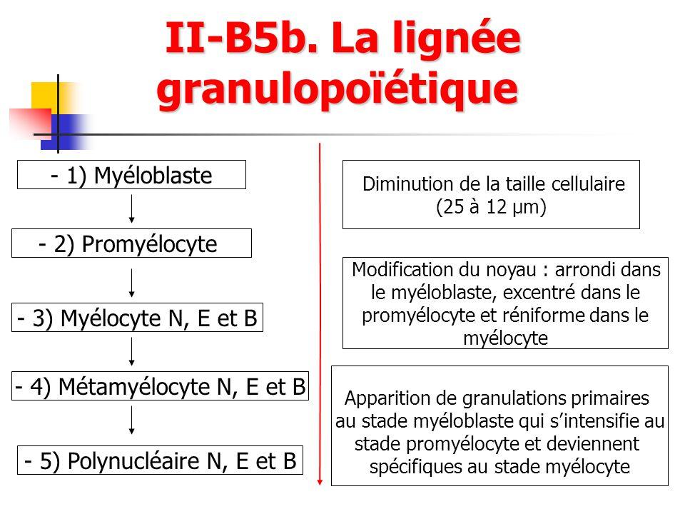 II-B5b. La lignée granulopoïétique
