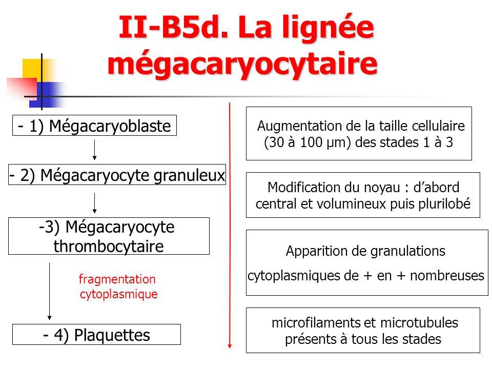 II-B5d. La lignée mégacaryocytaire