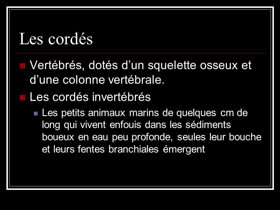 Les cordés Vertébrés, dotés d'un squelette osseux et d'une colonne vertébrale. Les cordés invertébrés.