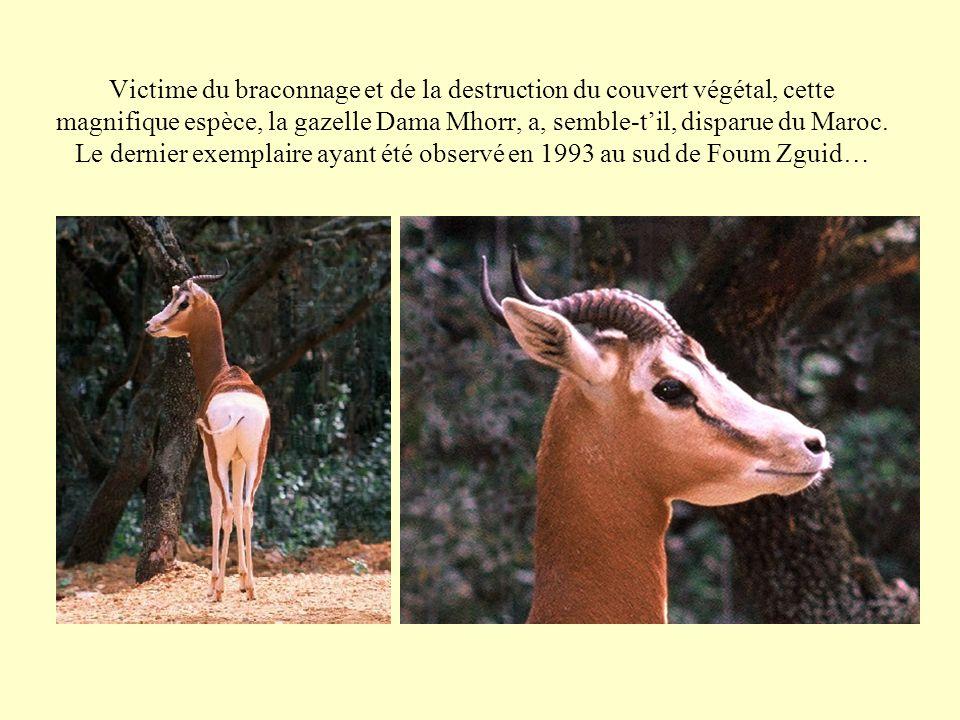 Victime du braconnage et de la destruction du couvert végétal, cette magnifique espèce, la gazelle Dama Mhorr, a, semble-t'il, disparue du Maroc.