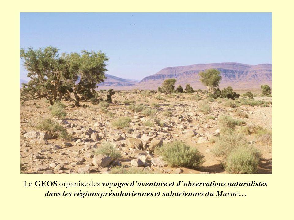 Le GEOS, Groupe Étude et d'Observations pour la Sauvegarde des animaux sauvages et des écosystèmes et pour une nouvelle relation aux autres espèces (www.geos-nature.org) organise des voyages d'aventure et d'observations naturalistes au Maroc, particulièrement dans les régions présahariennes et sahariennes qui sont la zone d'action privilégiée de l'association partenaire qu'est le GERES, Groupe Étude et de Recherches des Écologistes sahariens (www.geres-asso.org).