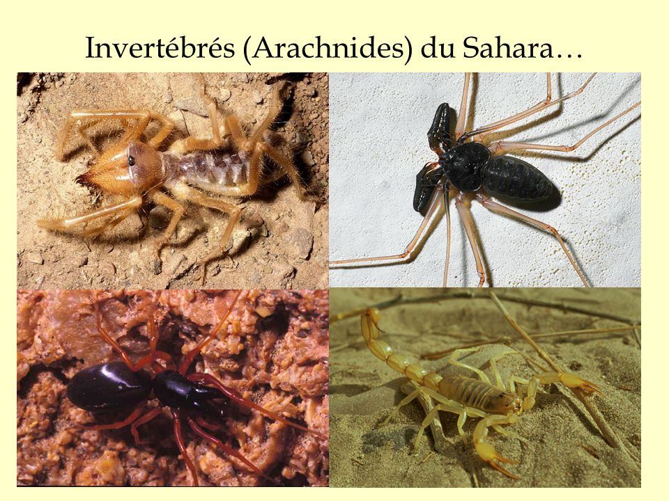 Invertébrés (Arachnides) du Sahara…