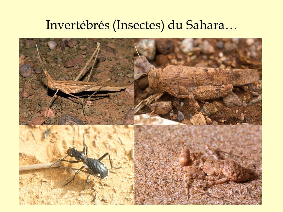 Invertébrés (Insectes) du Sahara…