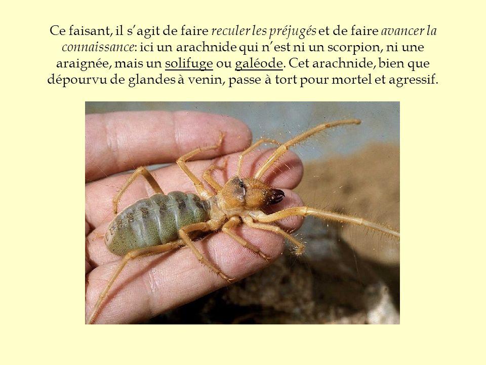 Ce faisant, il s'agit de faire reculer les préjugés et de faire avancer la connaissance: ici un arachnide qui n'est ni un scorpion, ni une araignée, mais un solifuge ou galéode.